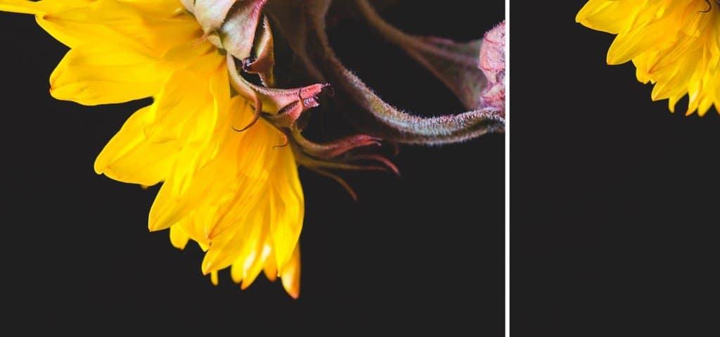 sundflower macro photography