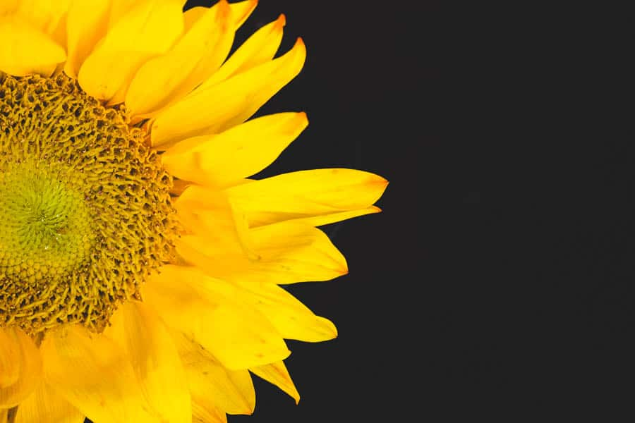 Lovely Everyday: All I Shot Were Sunflowers