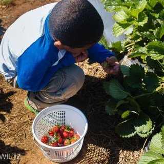 strawberry patch photography