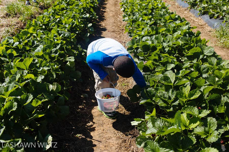 photos at the strawberry patch