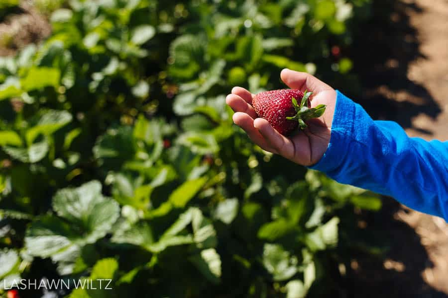 photography at the strawberry patch