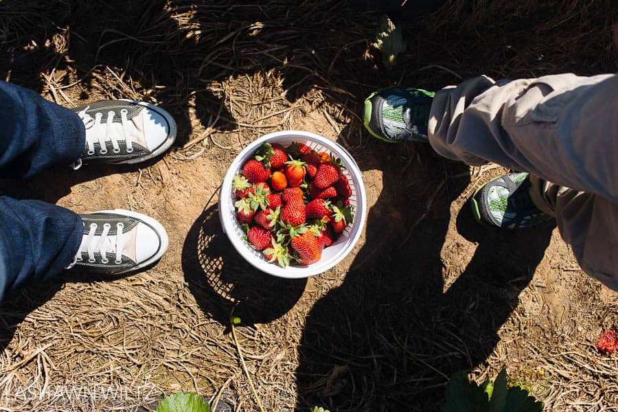 strawberry patch photos southern belle farm