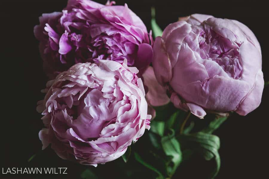 Photographers Choice Peonies