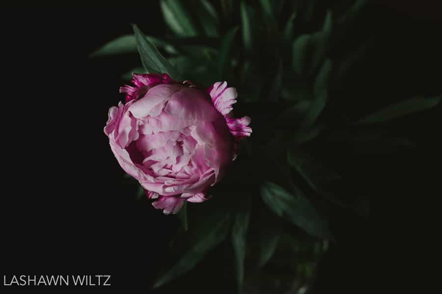I love peonies, I got out my camera and took a few photos.
