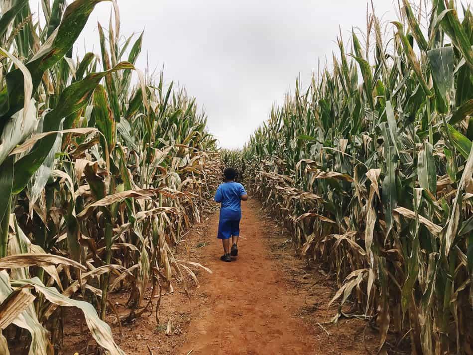corn maze week 8