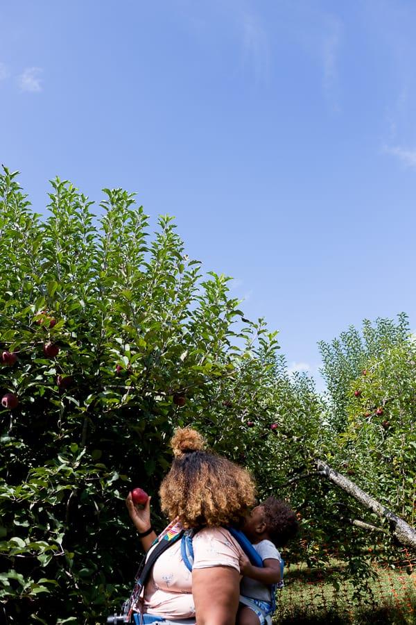 picking apples at bj reece